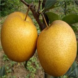 基地供应高质量梨树苗 品种齐全 易成活易管