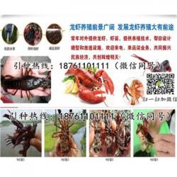 娄底青红小龙虾苗价格淡水龙虾苗养殖条件
