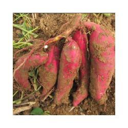 供应高产红薯苗