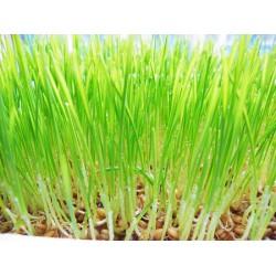 小麦草批发 专业提供漳州小麦草批发