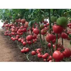 中山供应小番茄苗 小番茄苗育苗厂